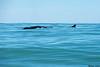 Fin Whale,Tofino,B.C.
