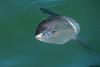 Ocean Sunfish,Tofino,B.C.