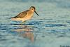 Stilt Sandpiper,Ocean Shores,WA