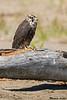 Perigrine Falcon,Ocean City,WA