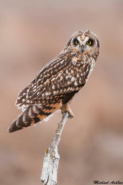 Short-eared Owl,Vancouver,B.C.