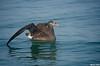 Black-footed Albatross,Tofino,B.C.