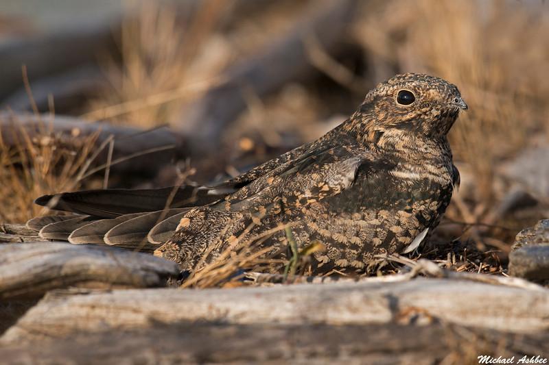 Common Nighthawk,Victoria,B.C.