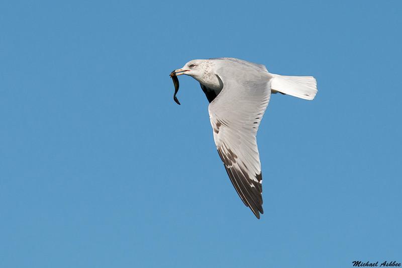 Ring billed Gull,Ocean shores,WA
