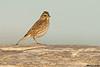 Savannah Sparrow,Victoria,B.C.