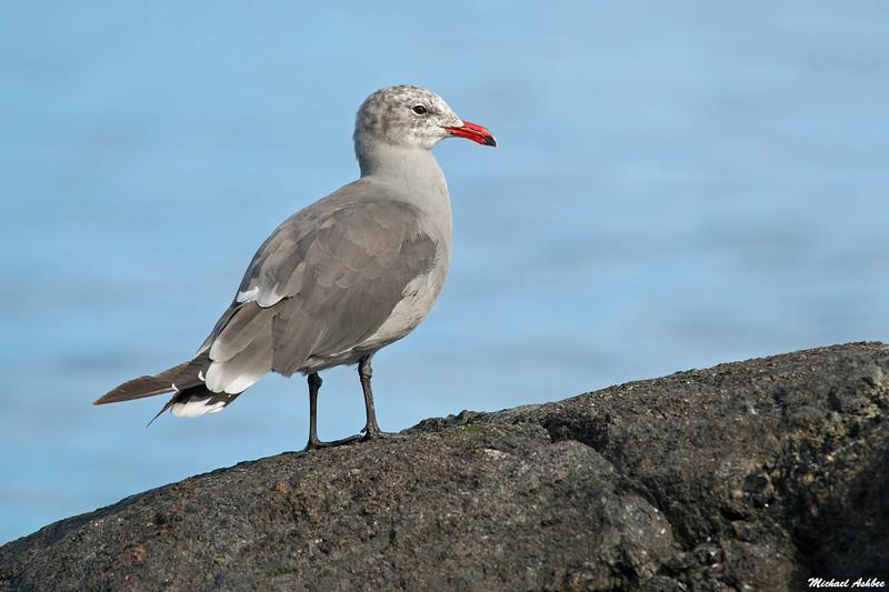 Heermans Gull,Victoria,B.C.