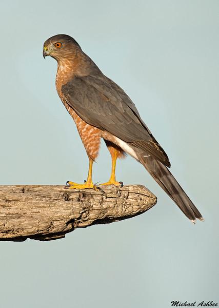 Cooper's Hawk,Victoria,B.C.