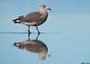 Heerman's Gull,Ocean shores,WA
