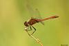Saffron-winged Meadowhawk,Victoria,B.C.