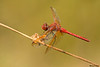 Red-veined Meadowhawk,Nanaimo,B.C.