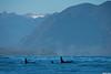 Orcas,Tofino,B.C.