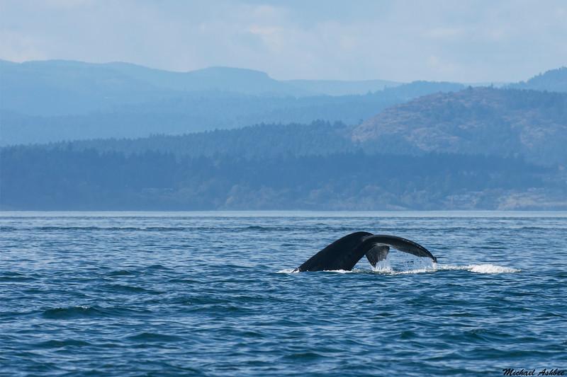 Humpback Whale,Victoria,B.C.