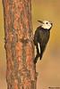 White-headed Woodpecker,Fort Rock,Oregon