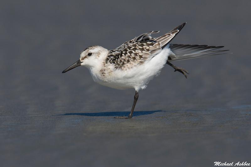 Sanderling,Ocean Shores,WA