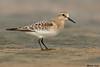 Baird's Sandpiper,Ocean Shores,WA