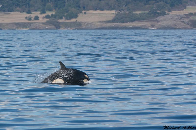Scarlett(9 month old orca),Victoria,B.C.