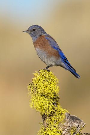 Western Bluebird,Fort Rock,Oregon