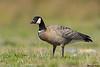 Cackling goose,Sooke,B.C.