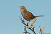 New Zealand Fernbird