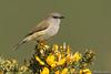 Grey Warbler