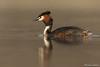 Australasian Crested Grebe