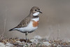 Banded Dotterel (Female)