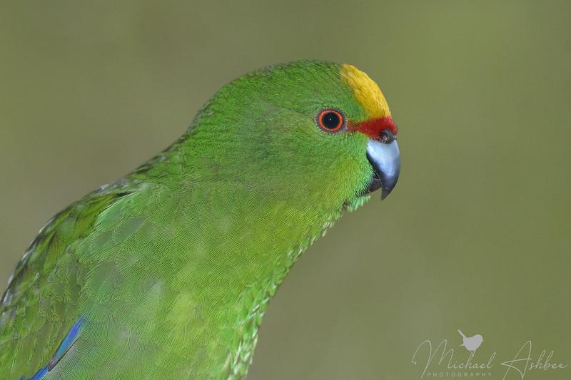Yellow-fronted Parakeet