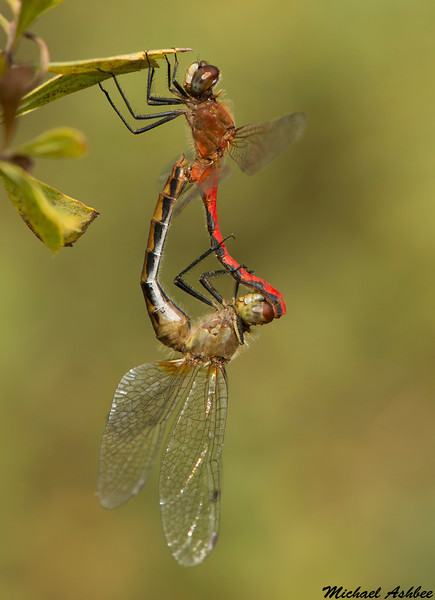 White-faced Meadowhawks,Rolley Lake,B.C.