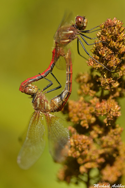 Striped Meadowhawks,Lake Cowichan,B.C.