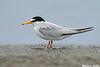 Least Tern,South Padre Island,Texas