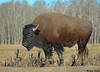 Plains Bison,Elk island National Park,Alberta