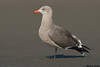 Heerman's Gull,Ocean beaches,Washington