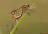 Saffron winged Meadowhawks,Lake Cowichan B.C.
