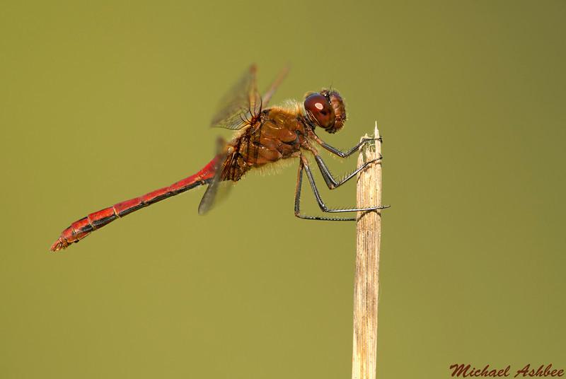 Saffron winged Meadowhawk,Lake Cowichan,B.C.