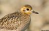 Pacific Golden Plover,Sooke,B.C.