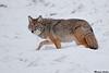 Coyote,Jasper,Alberta