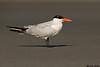 Caspian Tern,Ocean Beaches,Washington