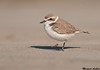 Snowy Plover,San Francisco,California