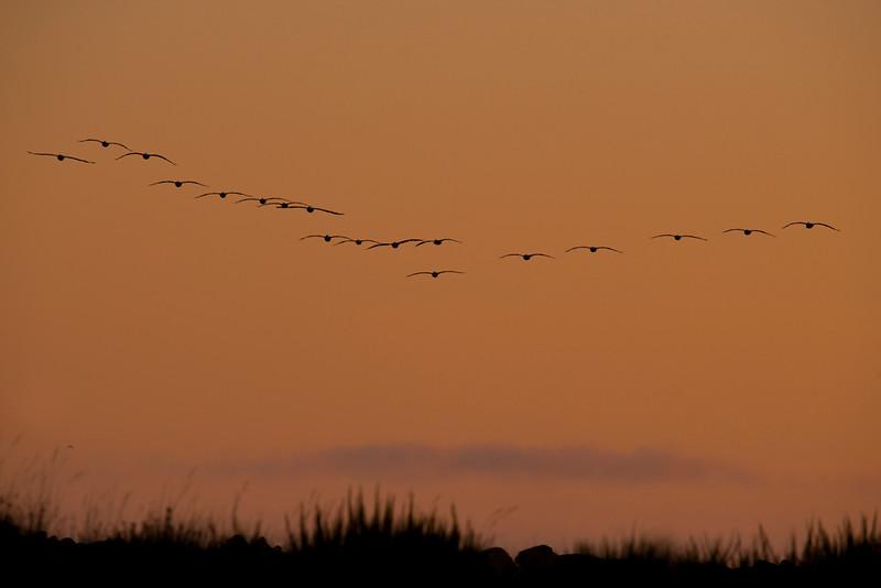 Brown Pelicans,Ocean shores,Washington
