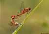 Autumn Meadowhawks,Cowichan Lake,B.C.