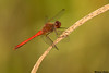 Autumn Meadowhawk,Lake Cowichan,B.C.