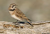 Horned Lark,Sooke,British Columbia