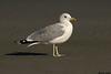 California Gull,Ocean Beaches,Washington