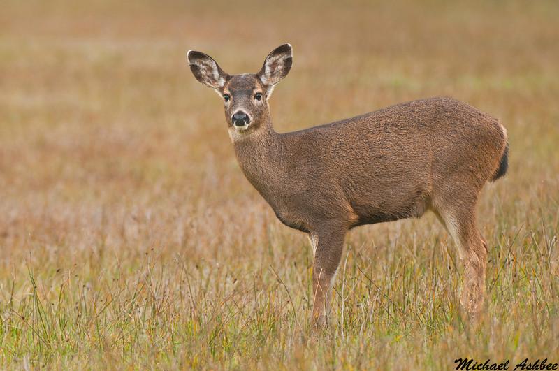 Black tailed deer,Ocean shores,Washington