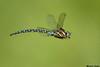 Paddle- tailed Darner,Victoria,B.C.