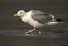 Western Gull,Ocean beaches,Washington