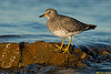 Surfbird,Victoria,British Columbia