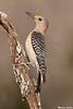 Golden-Fronted Woodpecker,Mc Allen,Texas