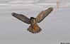 Northern Hawk Owl,Edmonton,Alberta