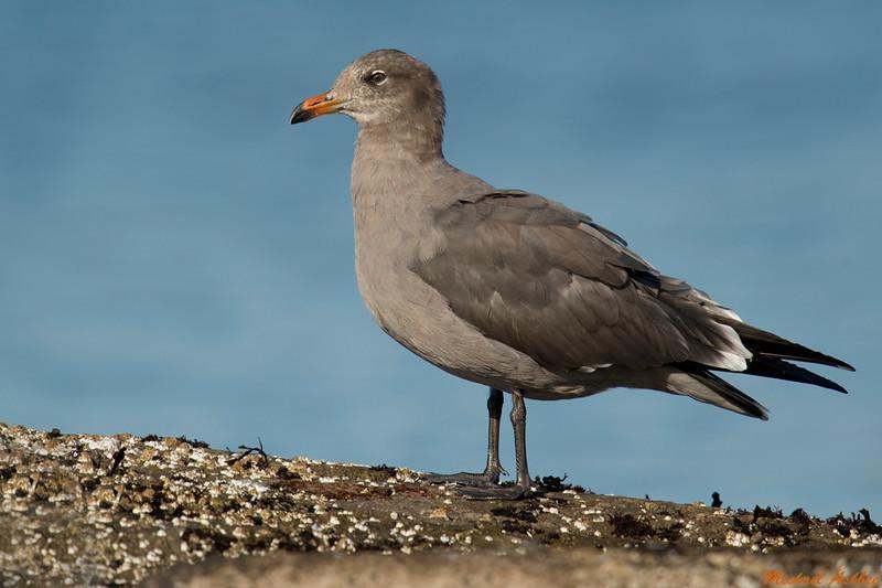 Heerman's Gull,Victoria,B.C.